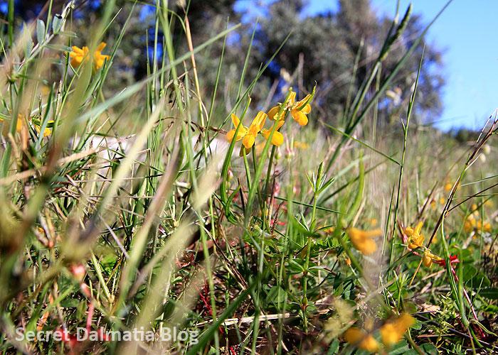 Sredozemna sjekirica | goat pea (Securigera securidaca)