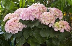 guelder rose(0.0), hydrangea serrata(0.0), shrub(1.0), flower(1.0), plant(1.0), lilac(1.0),