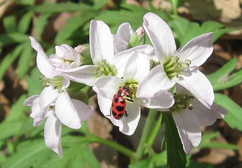Spotted lady-beetle (Coleomegilla maculata) on toothwort (Cardamine concatenata), Cherokee Marsh