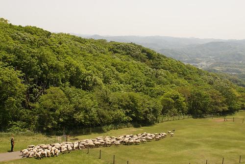 Sheeps 01