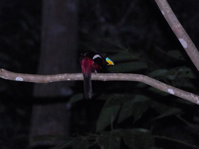 Ave nocturna en el río Kinabatangan (Borneo, Malasia)