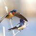 Hirondelles rustiques - Barn Swallows by O. Levasseur