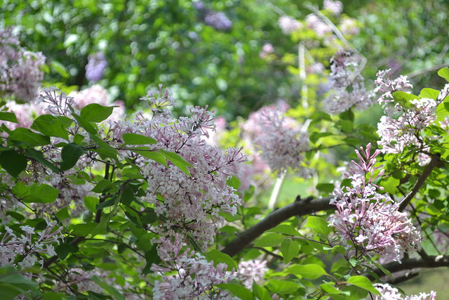 Syringa pubescens ssp. microphylla (littleleaf lilac) in the Lilac Collection. Photo by Morrigan McCarthy.