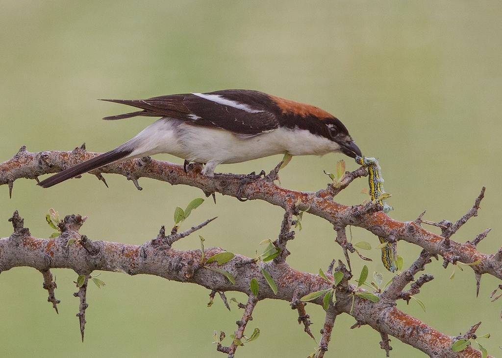 Bushchat Shrike 32014-05-06