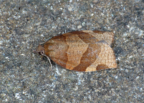 970 Barred Fruit-tree Tortrix - Pandemis cerasana