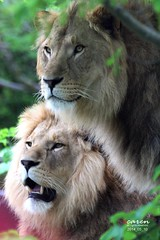 African Lions May 2014