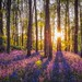Bluebells at Sunset by Vemsteroo