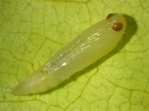小菜蛾的蛹,李鍾旻攝影