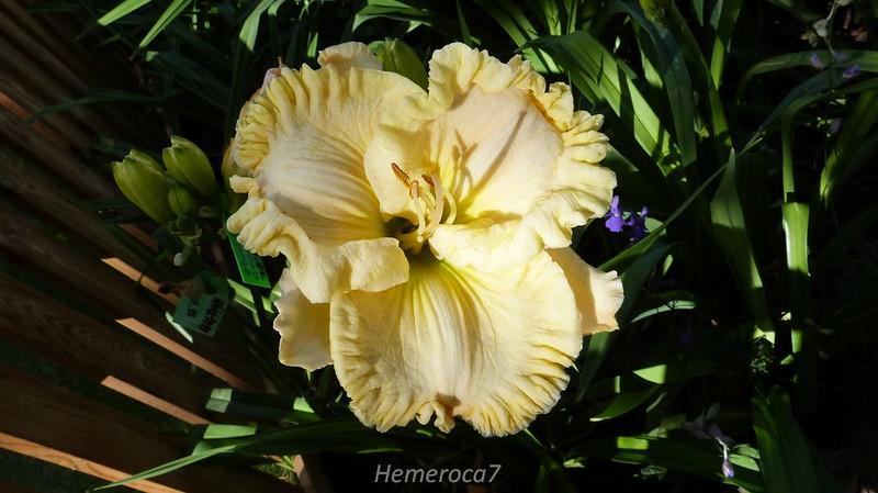 Hybrides 2014 chez hemeroca7 14272110071_5442fb853f_c