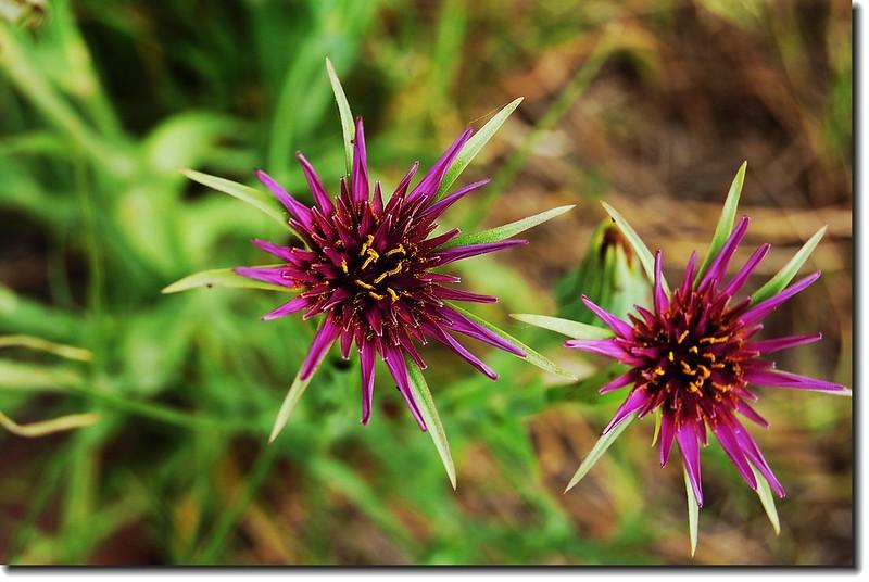 Purple Salsify(Chautauqua) 1