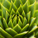 174/365 - Araucaria Araucana by trombone65 (PhotoArt Laatzen)