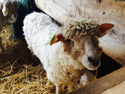 At the Mass. Sheep and Woolcraft Fair