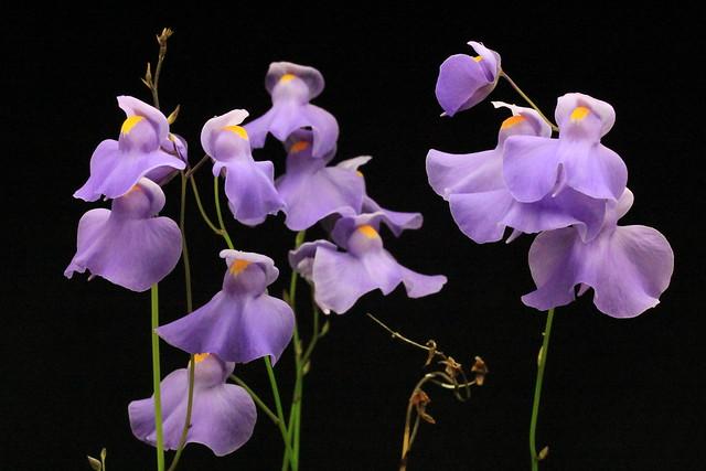 Utriculaire Longifolia