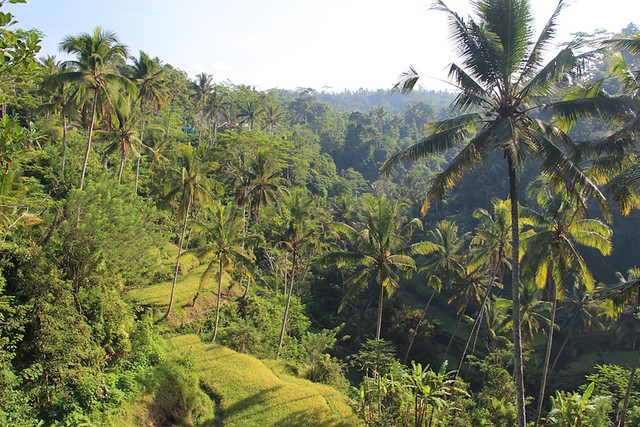 rice terraces and palm trees