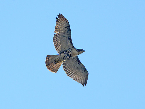Cathedral Juvenile Hawk - 3631