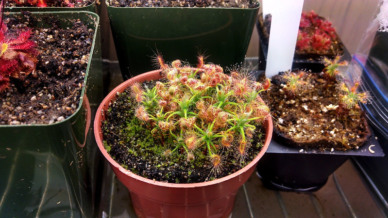 Drosera scorpioides digesting a meal.