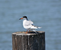 Forster's Tern at Alameda Point