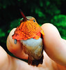 Rufous tailed at HJA