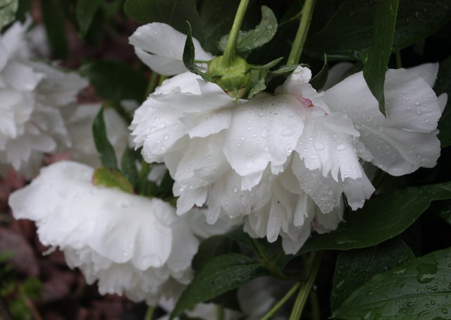 rain-soaked peonies