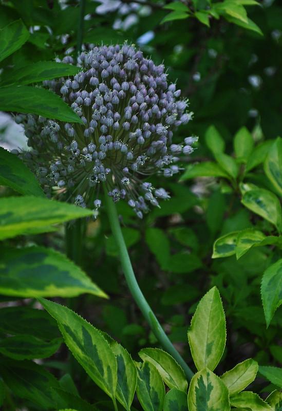 Allium ampeloprasum var. ampeloprasum
