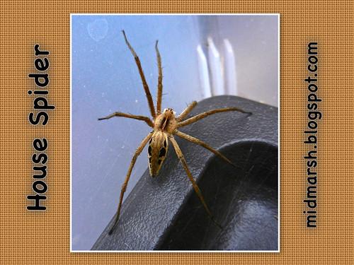 House Spider 01