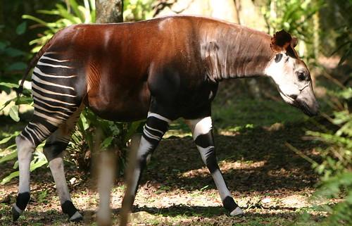 Okapi - Ituri