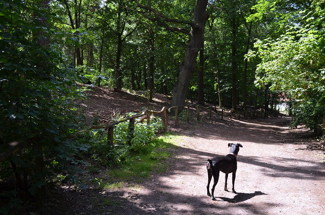 Grunewald Berlin_ Bailey dog on forest path in the sunshine