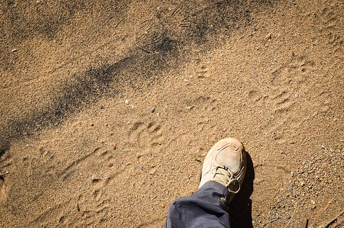 Baboon footsteps