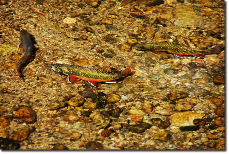Brook Trout in Sprague Lake 3