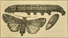 """Image from page 280 of """"A manual of dangerous insects likely to be introduced in the United States through importations"""" (1917)"""