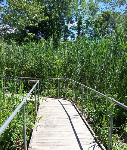 boardwalk through reeds