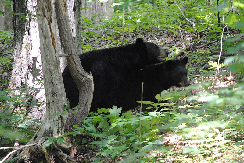 American Black Bear (mating)