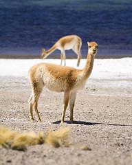 animal, sand, mammal, fauna, vicuã±a, guanaco, camel, wildlife,