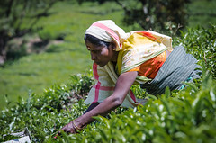 Picking tea. Munnar, Kerala