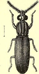 """Image from page 531 of """"Coleoptera : general introduction and Cicindelidae and Paussidae"""" (1912)"""