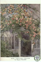 Rose, Fortune's Yellow by Margaret Waterfield. Beautiful flowers and how to grow them (1910)