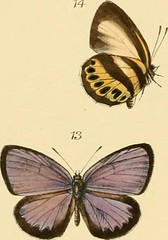 "Image from page 310 of ""Rhopalocera exotica ; being illustraions of new, rare, and unfigured species of butterflies"" (1887)"