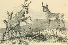"""Image from page 854 of """"The world's inhabitants; or, Mankind, animals, and plants; being a popular account of the races and nations of mankind, past and present, and the animals and plants inhabiting the great continents and principal islands"""" (1888)"""