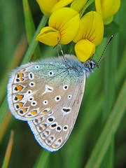 Common-Blue-Resting