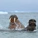 Male Walrus fight (Bret Charman)