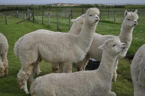 2014-06-22 Alpaca farm