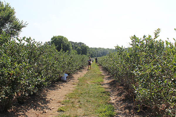 berry picking 032