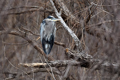 GREAT BLUE HERON 34