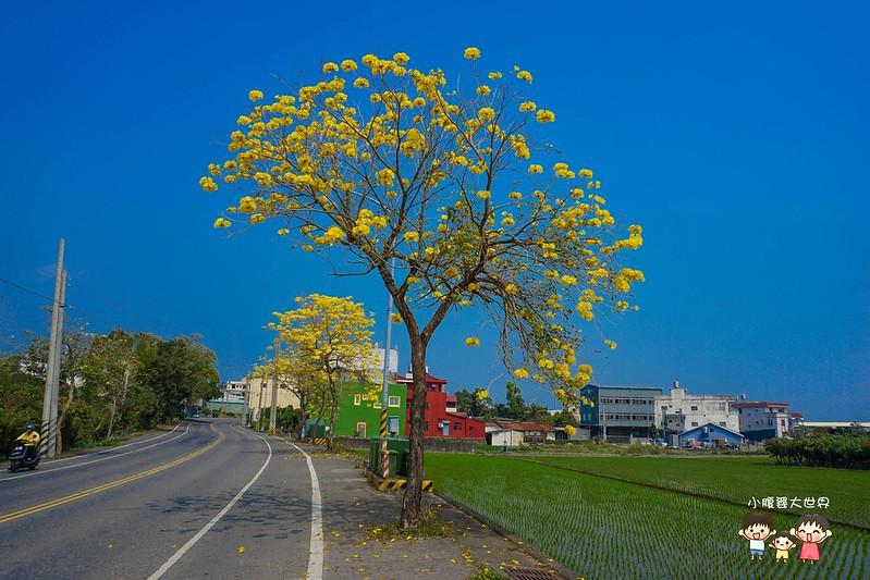 彰化黃風鈴木 064