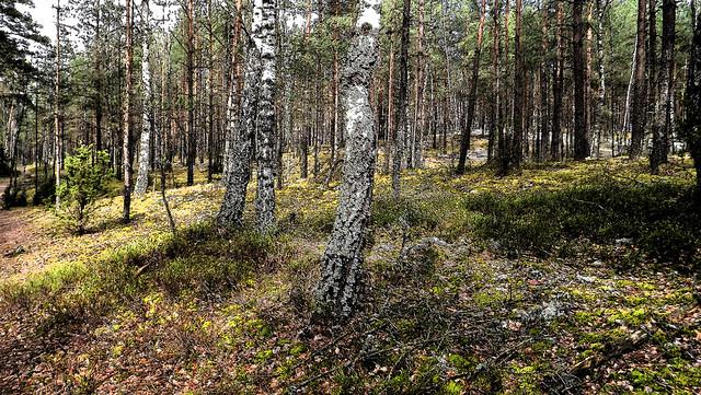 Spring in Dzukija Forests (27)