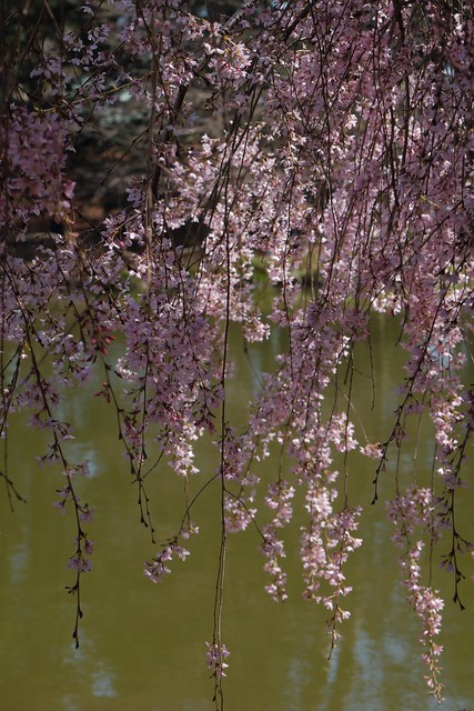 日, 2017-04-09 13:17 - Brooklyn Botanical Garden