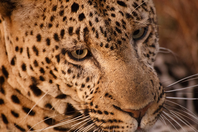 Leopards of the Serengeti