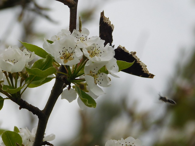 Mourning cloak (Nymphalis antiopa) on seckel pear blossom and a bee