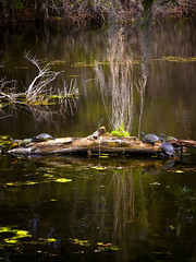 turtles on a log - Airlie Gardens - Wilmington, DE - 3-26-17  01