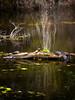 turtles on a log - Airlie Gardens - Wilmington, DE - 3-26-17  01